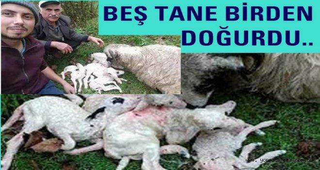 Koyun tek doğumda beş kuzu doğurdu..