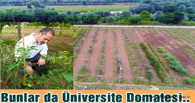 Üniversite  yerel Domatesin genetiğini korumaya aldı..