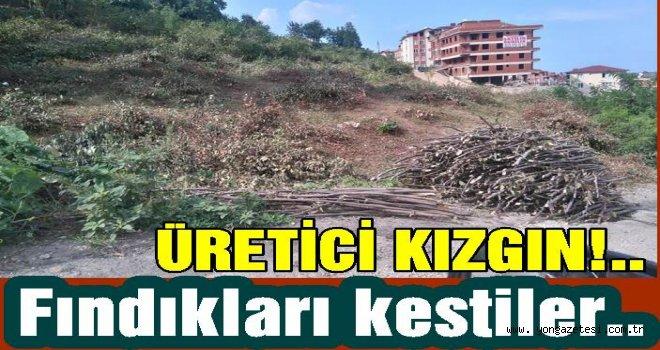 ÜRETİCİ FINDIK BAHÇESİNİ KESMEYE BAŞLADI..